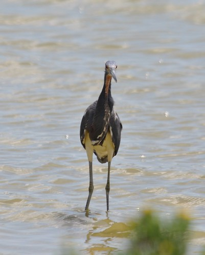 Tricolored Heron 4