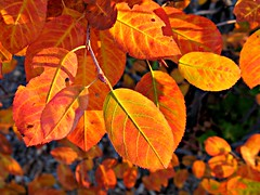 Autumn Leaves Afterglow (#1226) (protophotogsl) Tags: autumn sunset orange fall leaves closeup golden october foliage 1001nights picnik lateafternoon img9854 protophotogsl 1001nightsmagiccity mygearandmepremium mygearandmebronze mygearandmesilver mygearandmegold mygearandme~4awardthread mygearandmepremium~5awardthread mygearandmeplatinum mygearandmebronze~6awardthread 1001nights~9award~nomorethan40commentsthread localcontast mygearandmesilver~7awardthread mygearandmegold~8awardthread