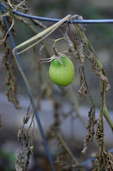 Still hangin' on! (Lisa Pusti) Tags: brown green fall garden tomato vines d7000