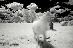 (Trevor Hare) Tags: england bw horse blur digital ir movement isleofwight infrared pointandshoot mistake ghostly grdigital ricoh pointshoot quarr interestingness474 i500 bw093irfilter ishflickr dcmt22