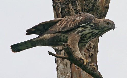 Changeable Hawk-Eagle (Spizaetus cirrhatus limnaeetus )