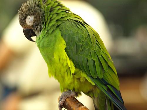 インコ │ 動物 │ 無料写真素材