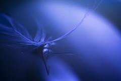 Floating in a blue world (Villi.Ingi) Tags: blue macro water closeup feather floating fluid serene liquid pipc abigfave top20blue ishflickr platinumheartaward abstractartaward