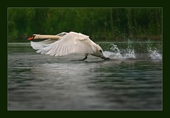 Beautiful Holland (hvhe1) Tags: holland bird nature netherlands animal swan bravo searchthebest wildlife waterfowl biesbosch interestingness2 naturesfinest blueribbonwinner supershot magicdonkey specanimal animalkingdomelite hvhe1 hennievanheerden anawesomeshot superbmasterpiece avianexcellence