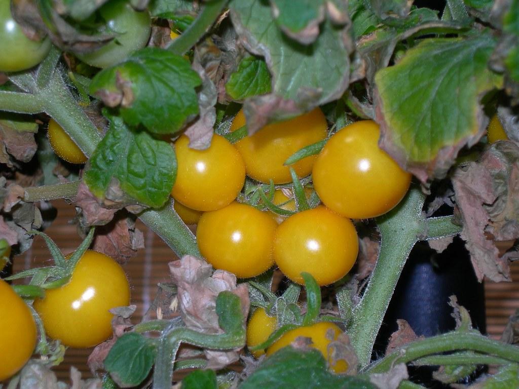2007-07-31 Tomatoes