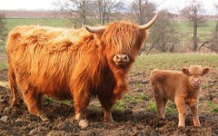 Highland Cow and Calf (edinburghcameraclub) Tags: family sky baby cute field hair cow mud horn calf