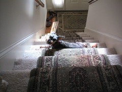 page sunbathes on the step 1203 001 (Shane's Flying Disc Show) Tags: show flying frisbee disc shanes thedoggies httpshanesflyingdiscshowcom