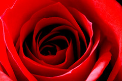 Grace (Neville_S) Tags: shadow red black flower macro beautiful rose canon amazing fantastic vivid 100mm canon350d jeffbuckley canon100mmmacrof28 diamondclassphotographer flickrdiamond nevillesukhiaphotography