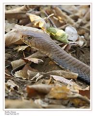 Unknown Snake (Bradley Glossop) Tags: southafrica cobra snake bigma profile olympus bradley glossop kruger sigma50500 e500