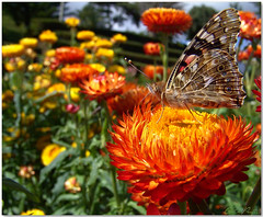 Free as a butterfly ... (Azorina) Tags: orange flower yellow butterfly quote flor amarelo borboleta catchycolour nordeste vanessacardui nathanielhawthorne azorina helichrysumbracteatum citao flordepapel beladama vanessadoscardos