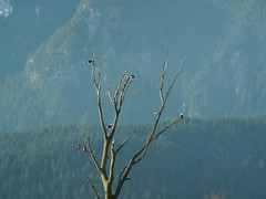"Eagles in tree near Harrison Mills FRS • <a style=""font-size:0.8em;"" href=""http://www.flickr.com/photos/51193137@N08/4721896017/"" target=""_blank"">View on Flickr</a>"