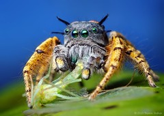 Adult Male Phidippus mystaceus feeding on a Chrysopid - With Video! (Thomas Shahan) Tags: portrait macro green slr oklahoma face k vintage hair lens 50mm prime spider jumping eyes close pentax zoom head thomas arachnid flash small tubes extension reversed fangs dslr smc vivitar softbox diffuser lacewing entomology arachnology macrophotography bayonet salticid shahan phidippus palps f17 salticidae chrysopidae chelicerae thyristor mystaceus k200d chrysopid justpentax taxonomy:binomial=phidippusmystaceus