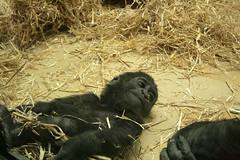 Junger Gorilla / Young Mountain gorilla