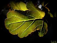 (Sarah-Vie) Tags: leaf lumire vert picnik feuille