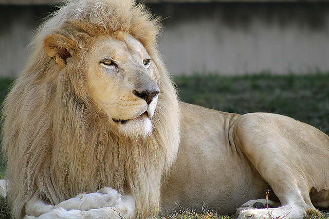 White Lion (kindda yellow...)