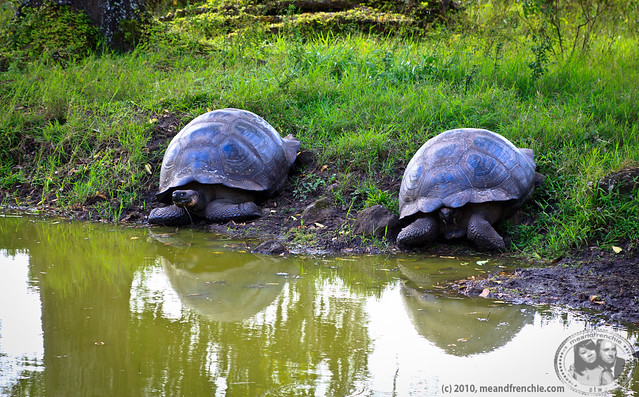 Tortoises In Santa Cruz Highlands
