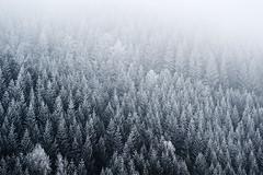 white frosted (stephan_amm) Tags: winter white tree forest frost wald hoar oberfranken kronach