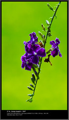 Violety Green (Anoop Anand A) Tags: flowers india flower canon 350d kerala 3a canon350d l canoneos350d anoop ef aaa thrissur 400mm extensiontubes violetflower canonef400mmf56l anoopaa forestrycollege keralaagriculturalcollege vellanikkara anoopananda anoopco wwwanoopco httpwwwanoopco