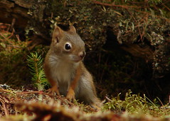 Red Squirrel Baby (Alexander Yates) Tags: park travel red wild usa baby nature animal topv111 ilovenature squirrel unitedstates maine wildanimal writer novelist redsquirrel baxterstatepark at specanimal travelwriter superbmasterpiece alexanderyates