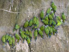clay lick (matt duke) Tags: nature birds ecuador amazon rainforest wildlife parrot claylick interestingness82 explored factonature mattdukephoto