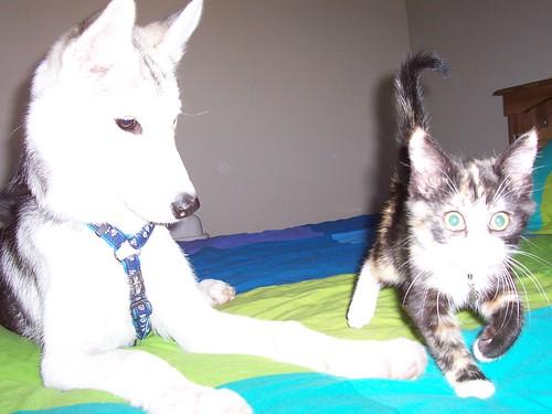 Do Siberian Huskies And Cats Get Along