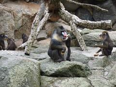 Mandriles (passa.sr) Tags: berlin zoo juli 2007 zoologischergarten mandril f31fd