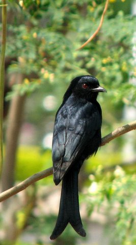 African Drongo...longlost twin of Indian drongo!