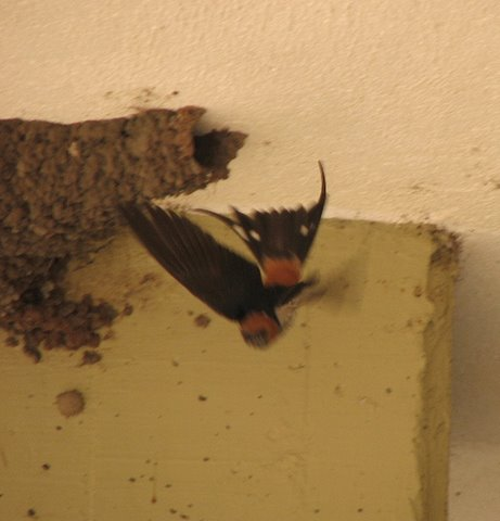 swallow coming out of nest
