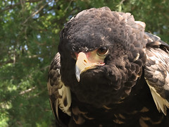 I Will Kill You Now (rgdaniel) Tags: kill eagle raptor predator bataleur birdsofprey evileye destroy redux runforyourlives naturesfinest piratetreasure interestingness379 i500 avianexcellence superhearts soulsresonance