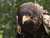 I Will Kill You Now (rgdaniel) Tags: kill eagle raptor predator bataleur birdsofprey evileye destroy redux runforyourlives naturesfinest piratetreasure interestingness379 i500 avianexcellence superhearts soulsresonance