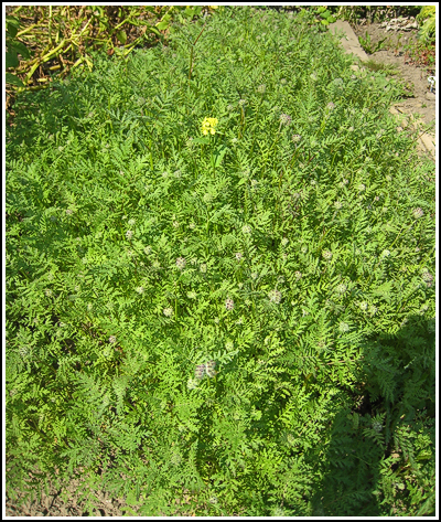 green manure copy