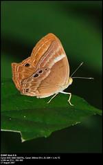Plum Juddy (Arun K A) Tags: butterflies kerala andhra canoneos350d canonrebelxt arun rajahmundry butterflyindia canon300mmf4lisusm commonindianbutterflies arunka maredumilli rampachodavaram