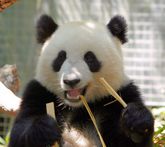 Smiling Su (kjdrill) Tags: california bear usa giant zoo cub panda sandiego chinese bamboo pandas endangeredspecies sulin