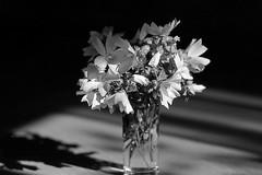 Malva sylvestris (PeKai) Tags: blackwhite pentax 150 rodinal pentaxmesuper fomapan100 hunsrueck hunsrck 072526 pekai justpentax pentaxk13525