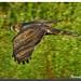 astor 01 - azor - northern goshawk - Accipiter gentilis