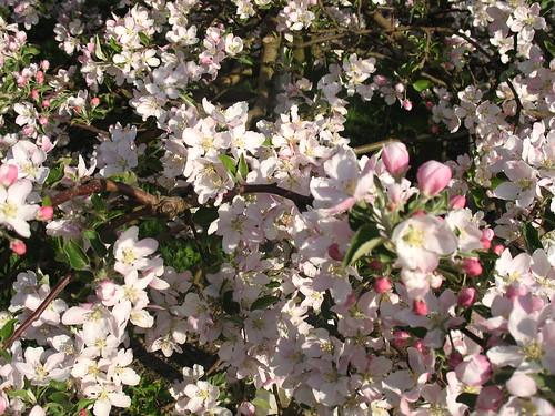 Blütenmeer auf Apfelbaum der Sorte Fuji
