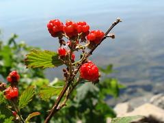 Red blackberries, with Lake Hartwell in background, SOOC (Martin LaBar) Tags: red fruit berry berries southcarolina blackberries ripening roja rubus rosaceae lakehartwell baya zarzamora madurez andersoncounty citrit
