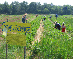 Strawberry season at the Poughkeepsie Farm Project