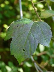 Viorne obier (Nemorivagus-Nature) Tags: viburnumopulus caprifoliaceae flore meuse fruit samogneux collectionnerlevivantautrement adoxaceae