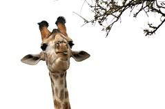 Delicious (Lauren Barkume) Tags: africa park winter wild game tree nature animal tongue neck southafrica spring october african wildlife reserve safari national giraffe krugernationalpark kruger 2010 gamedrive laurenbarkume gettyimagesmeandafrica1