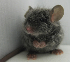 3 Week Old Mouse (CSBeck) Tags: blue pet baby cute mouse rodent longhair mice curly fancy pup angora satin rex texel caracul astrex