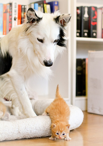 cute ginger kitten trying to work border collie watching