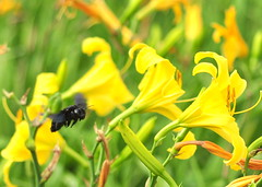Natures Helicopter (andredoreto) Tags: flower macro nature field yellow bug insect fly flying