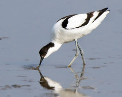 Avocet Feeding (Andrew Haynes Wildlife Images) Tags: bird nature wildlife norfolk nwt avocet wader cleymarsh canon7d ajh2008
