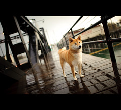 Rainy Day - 48/52 (kaoni701) Tags: sf sanfrancisco city sunset portrait reflection rain night project puppy japanese nikon fox 24 shibainu shiba vanishing missionbay week48 shibaken  d700 52weeksfordogs 24mmf14g