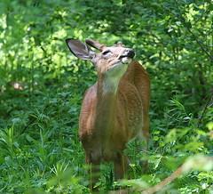 happiness is all this green stuff to eat (deerluvr) Tags: ontario jake muskoka mybackyard handsomeboy whitetaildeer naturesfinest yearlingbuck