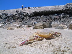 Crab lost to fork (CleverNinja) Tags: beach mexico sand crab