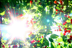 Sparkling red (aenimathirdeye) Tags: red sun tree green cherries sunreflection redfruits lensreflection amarene
