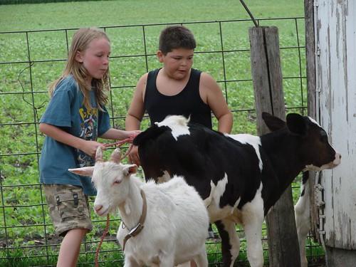 Wrangling calves