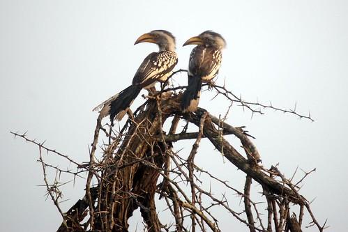 Zazubirds